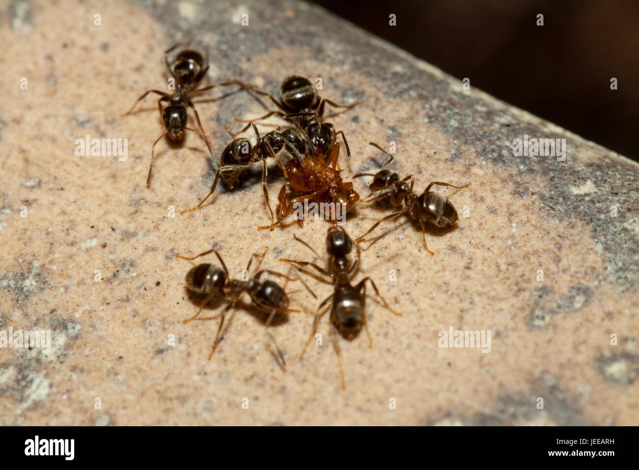 red ants attacking black ant stockfotos red ants attacking black ant bilder alamy. Black Bedroom Furniture Sets. Home Design Ideas