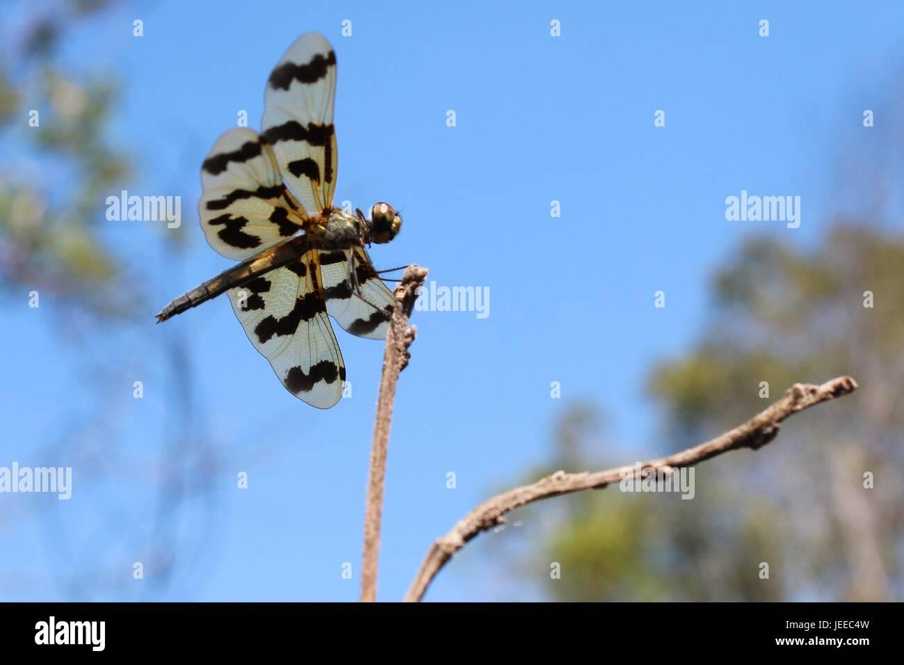 Die grafische Flutterer-Libelle ruht auf einem Ast im Northern Territory von Australien Stockfoto