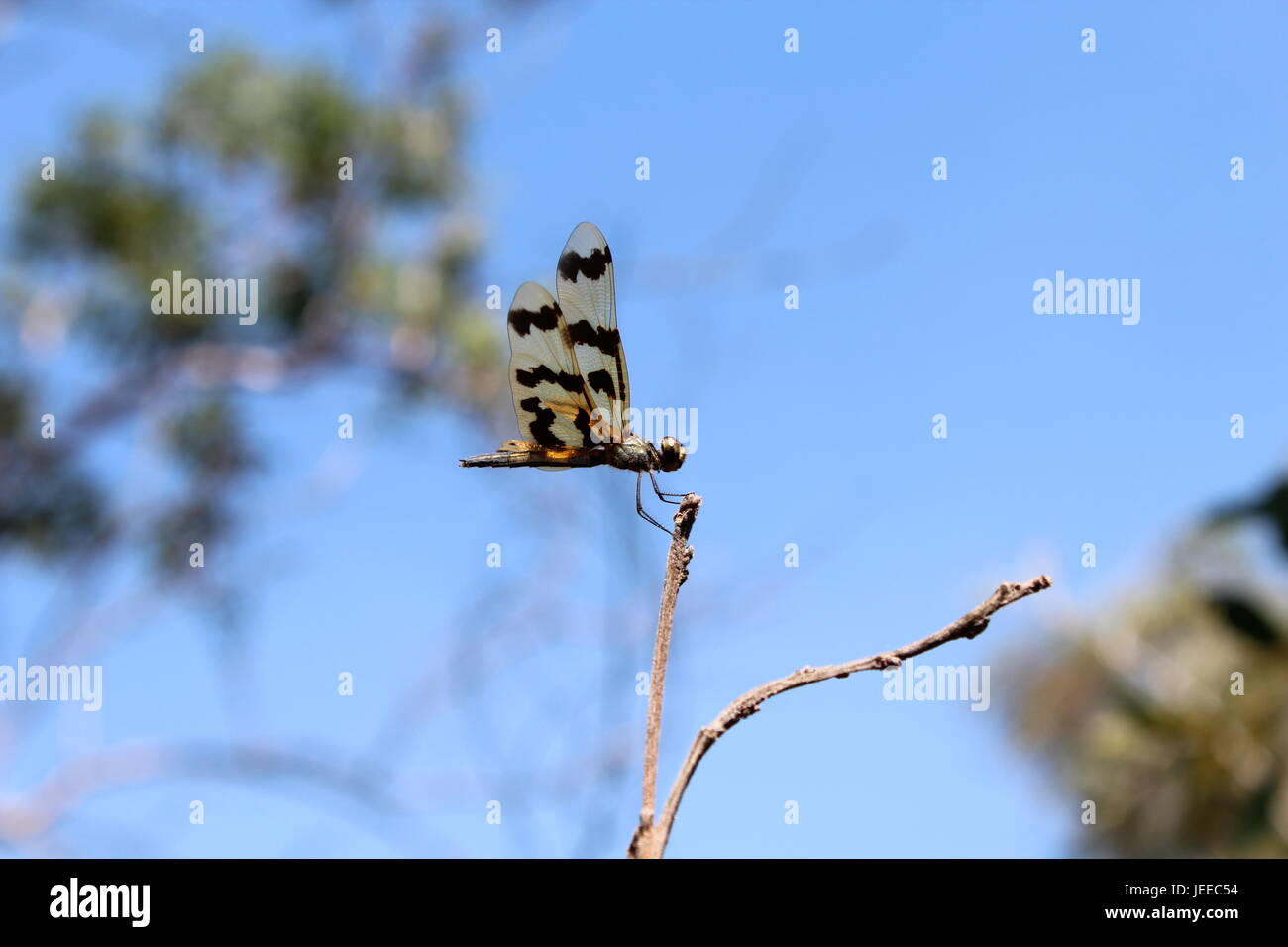 Grafische Flutterer Libelle im Northern Territory von Australien Stockbild