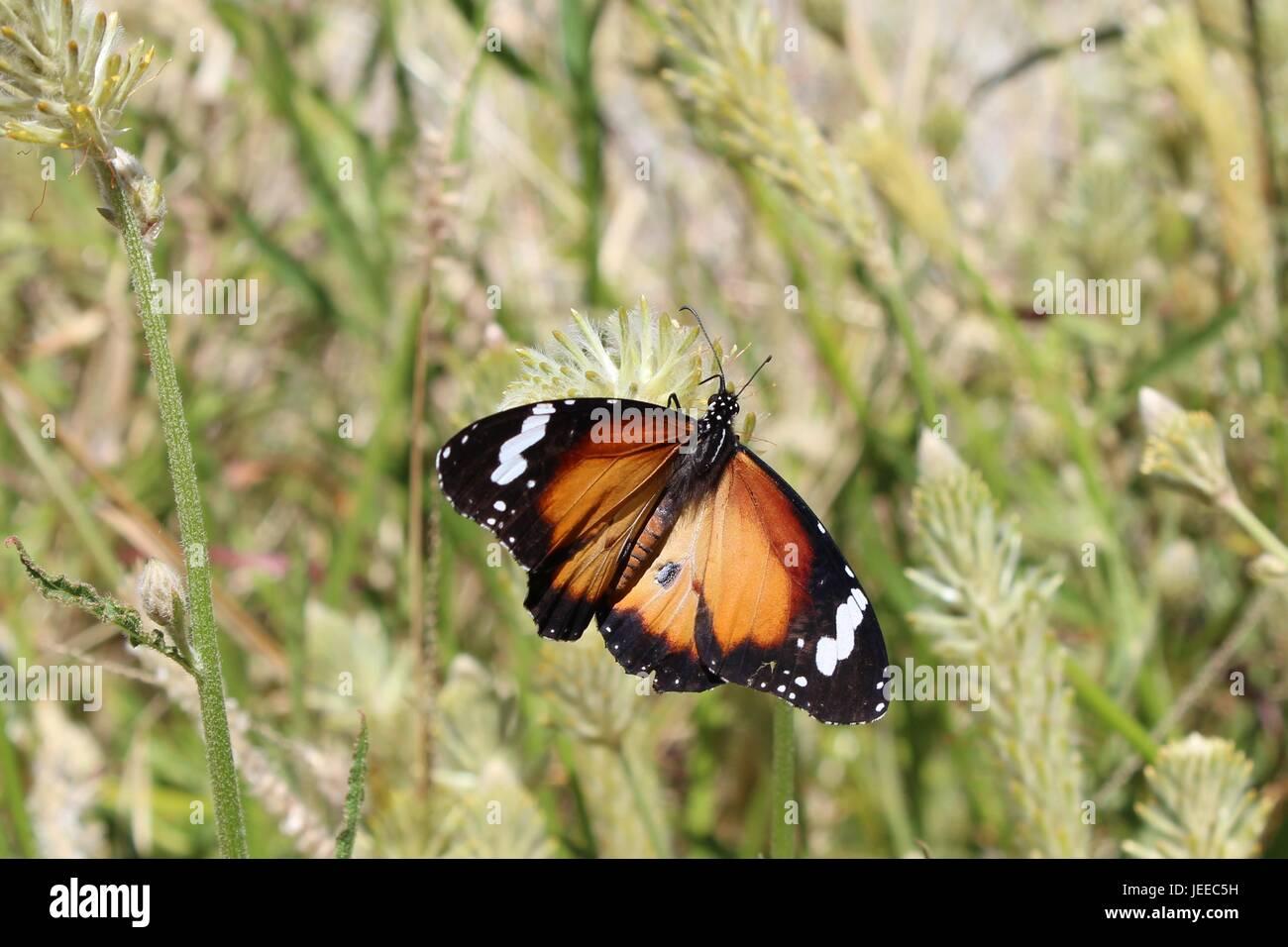 Plain Tiger mit offenen Flügeln im northern Territory von Australien Stockbild
