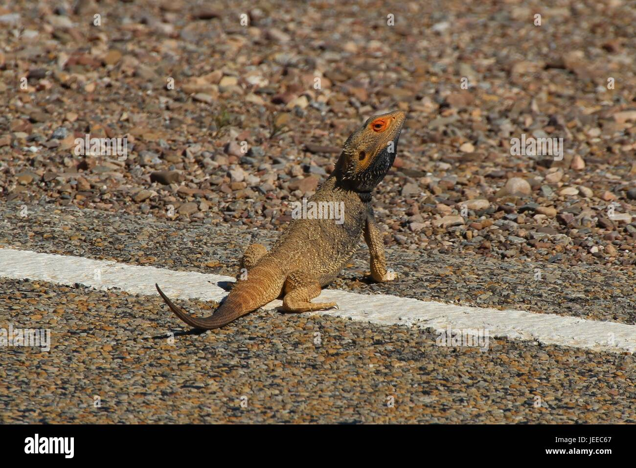 Die Eidechse nimmt ein Sonnenbad am Straßenrand Stockfoto