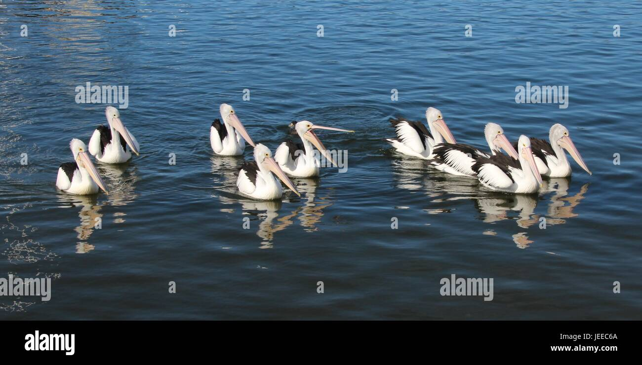 Ein Swimming-Gruppe der Pelikane Stockfoto