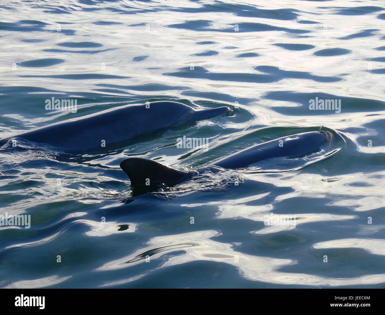 Wild lebende Delphine in Shark Bay in Western Australia Stockfoto