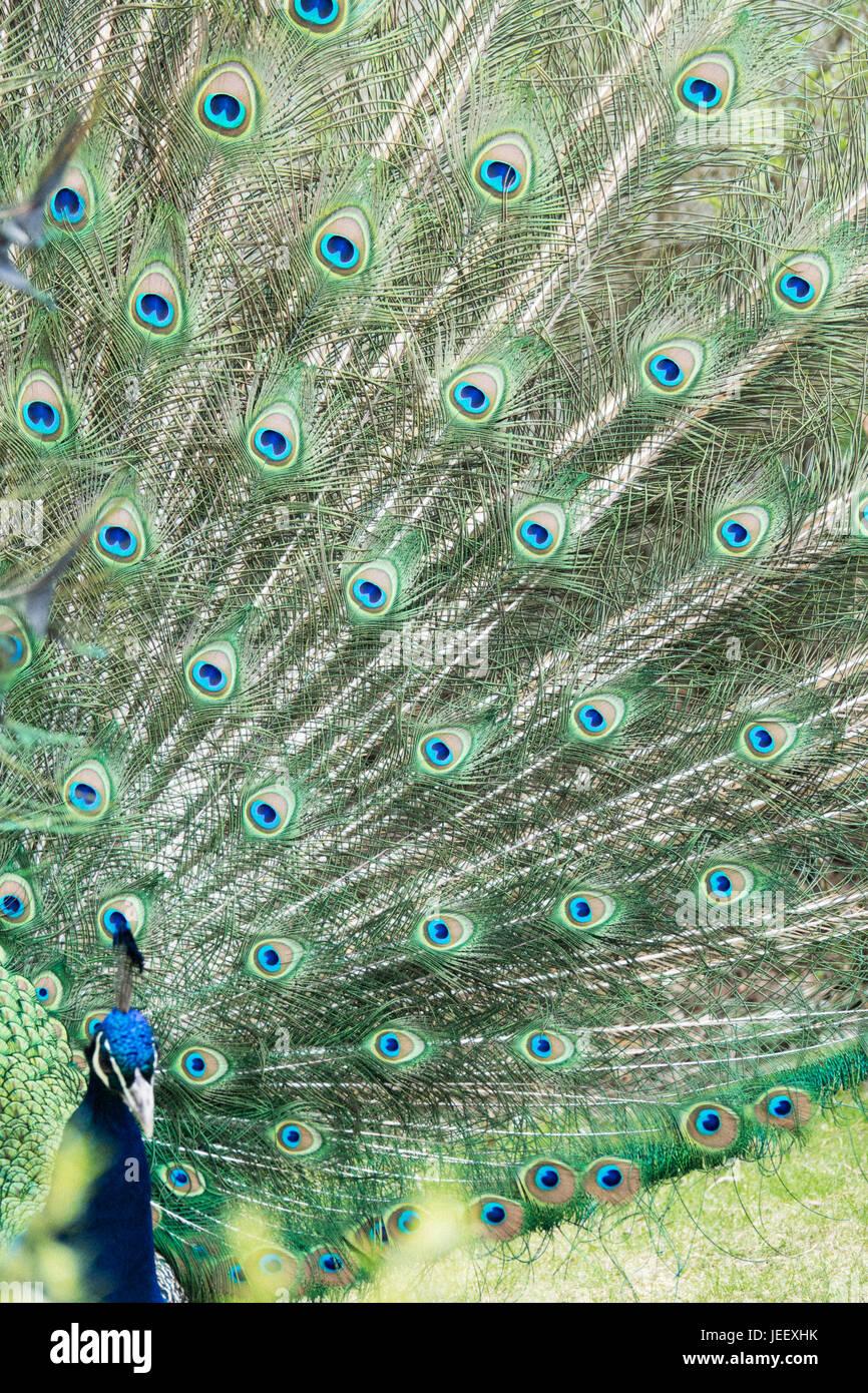Peacock zeigt Federn. exotischer Vogel Gefieder. wildlife Muster mit den Augen. Stockbild