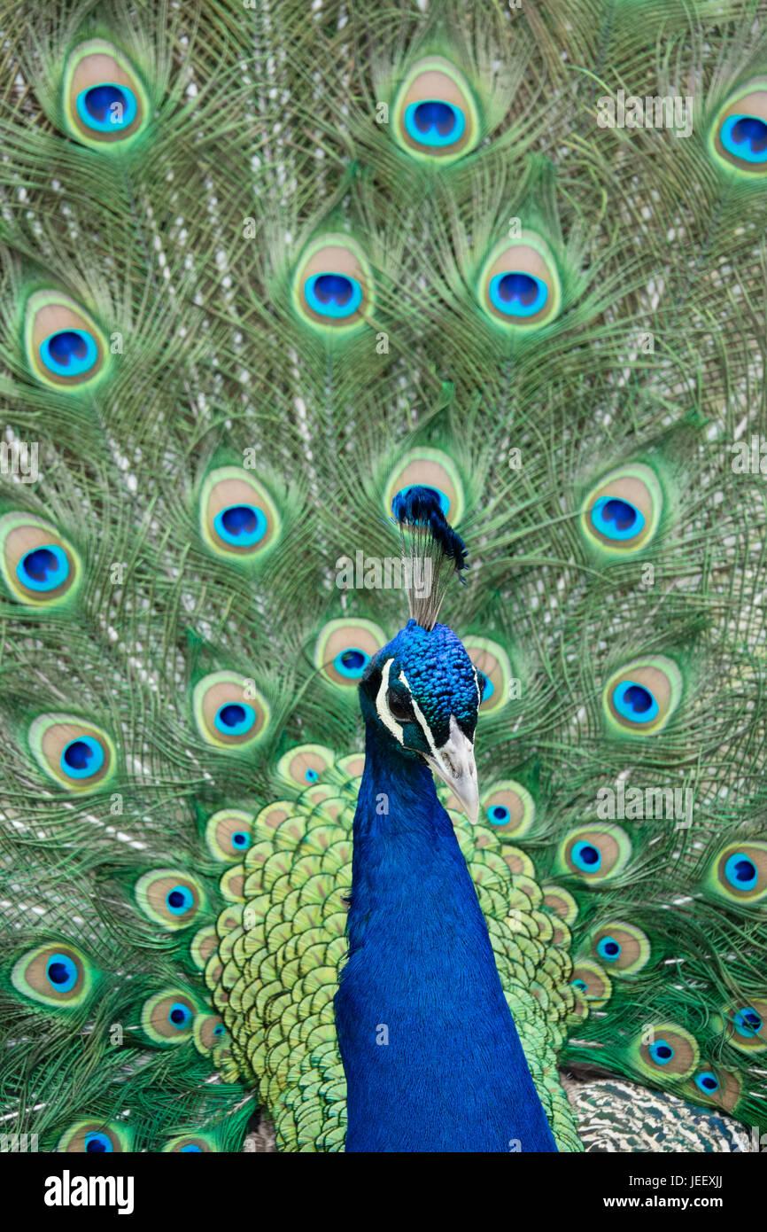 Peacock zeigt Federn. exotischer Vogel Gefieder. wildlife Muster mit den Augen. Stockfoto