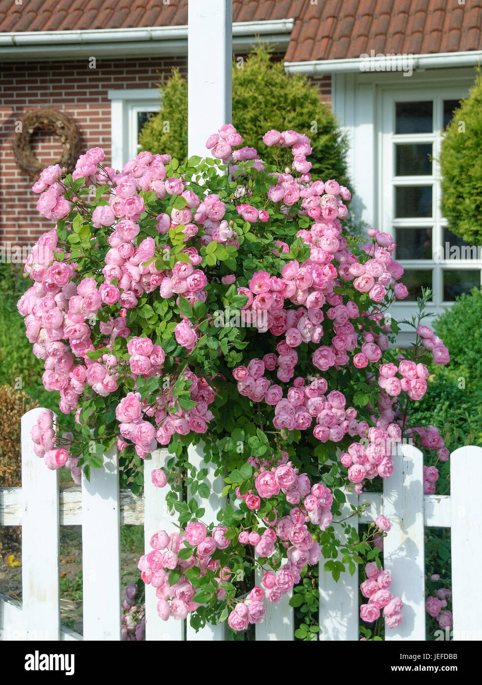 rambler rose rose raubritter rambler rose rosa. Black Bedroom Furniture Sets. Home Design Ideas