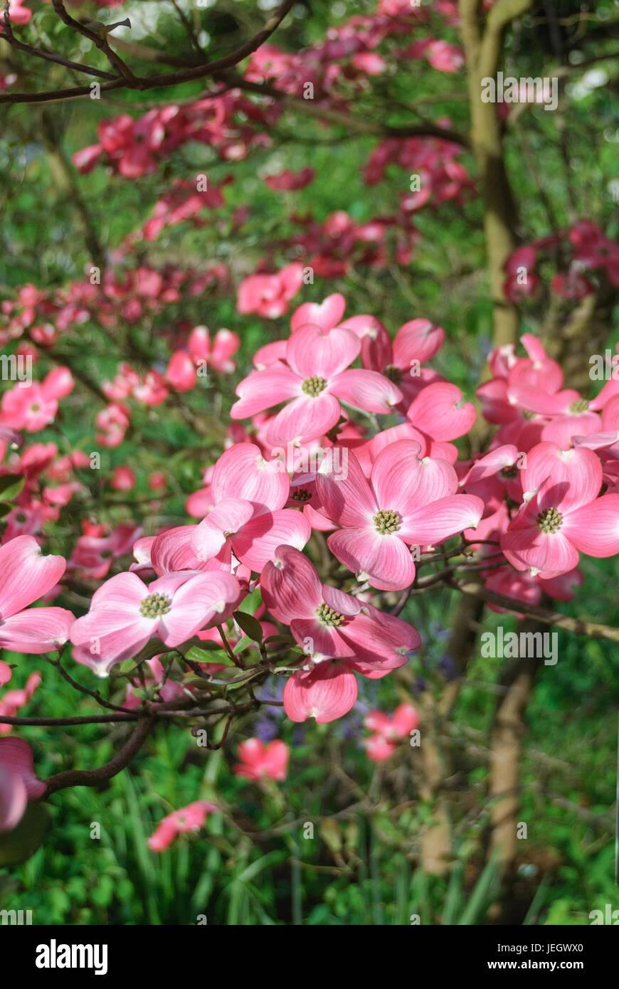 Amerikanischer Blumen Hartriegel Cornus Florida Rubra