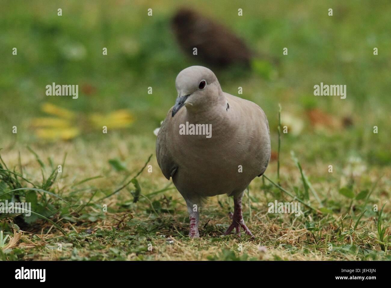 Eurasian collared dove in der WieseStockfoto