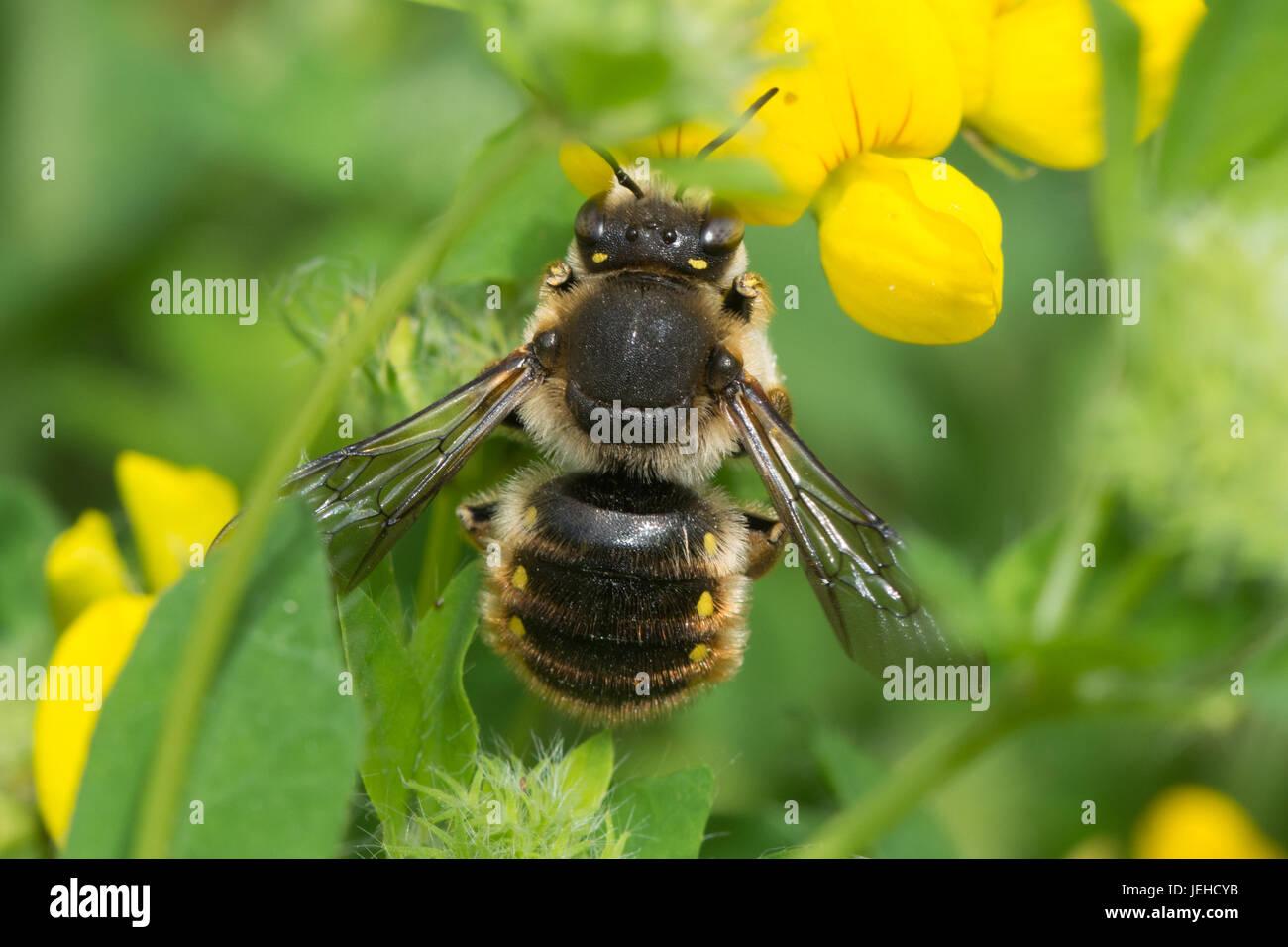 Nahaufnahme einer Wolle-Karde Biene (Anthidium Manicatum) Stockbild