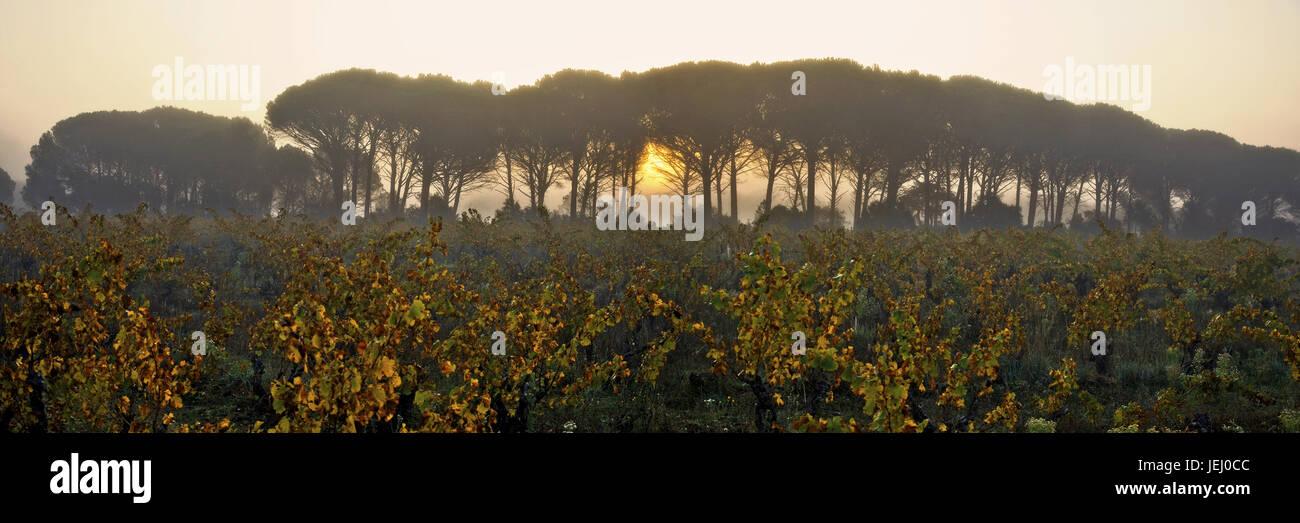 Pinien Und Reben, Provence, Frankreich Stockbild