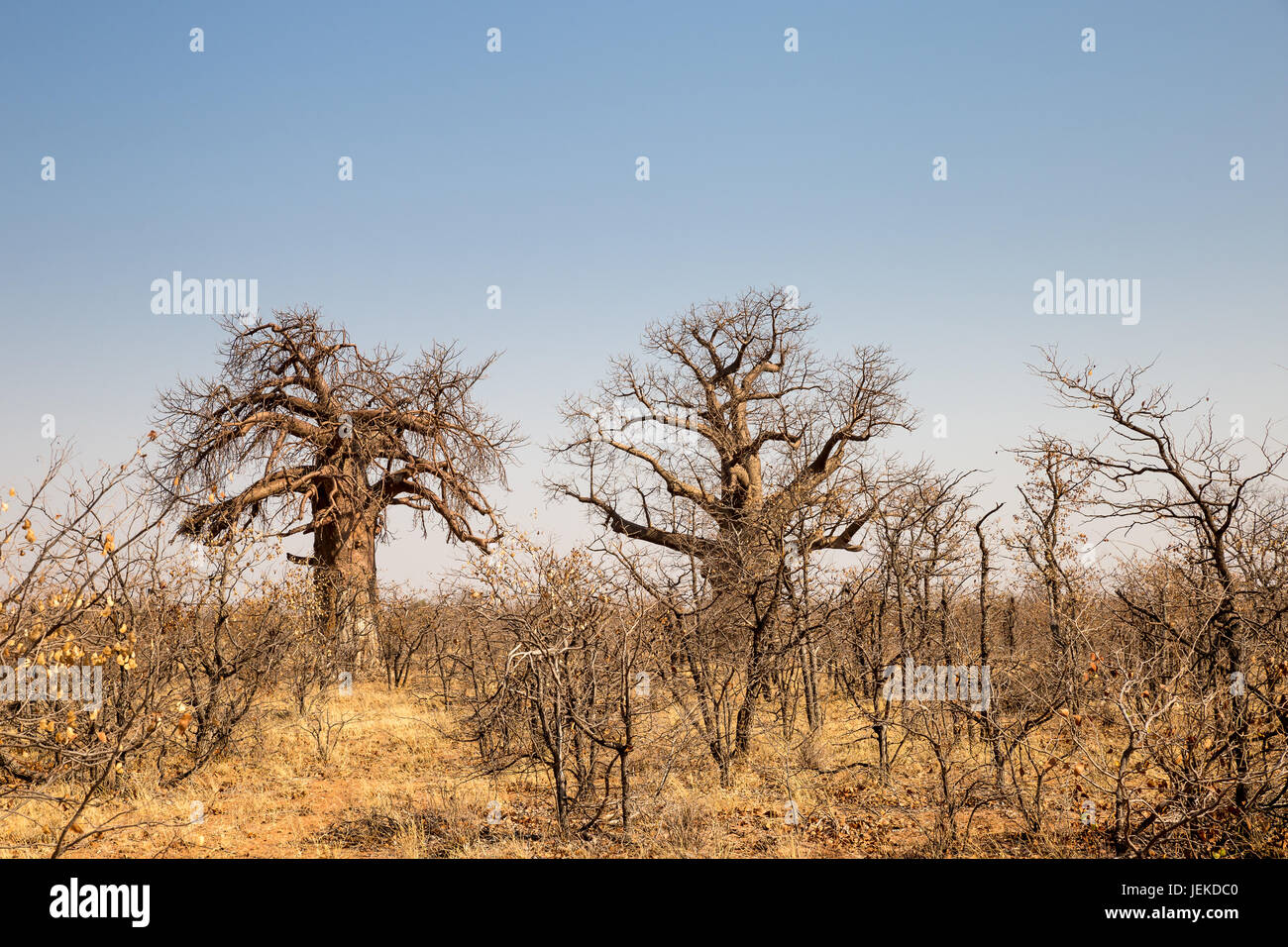 zwei gro e baobab b ume in der w ste landschaft von mapungubwe national park s dafrika afrika. Black Bedroom Furniture Sets. Home Design Ideas