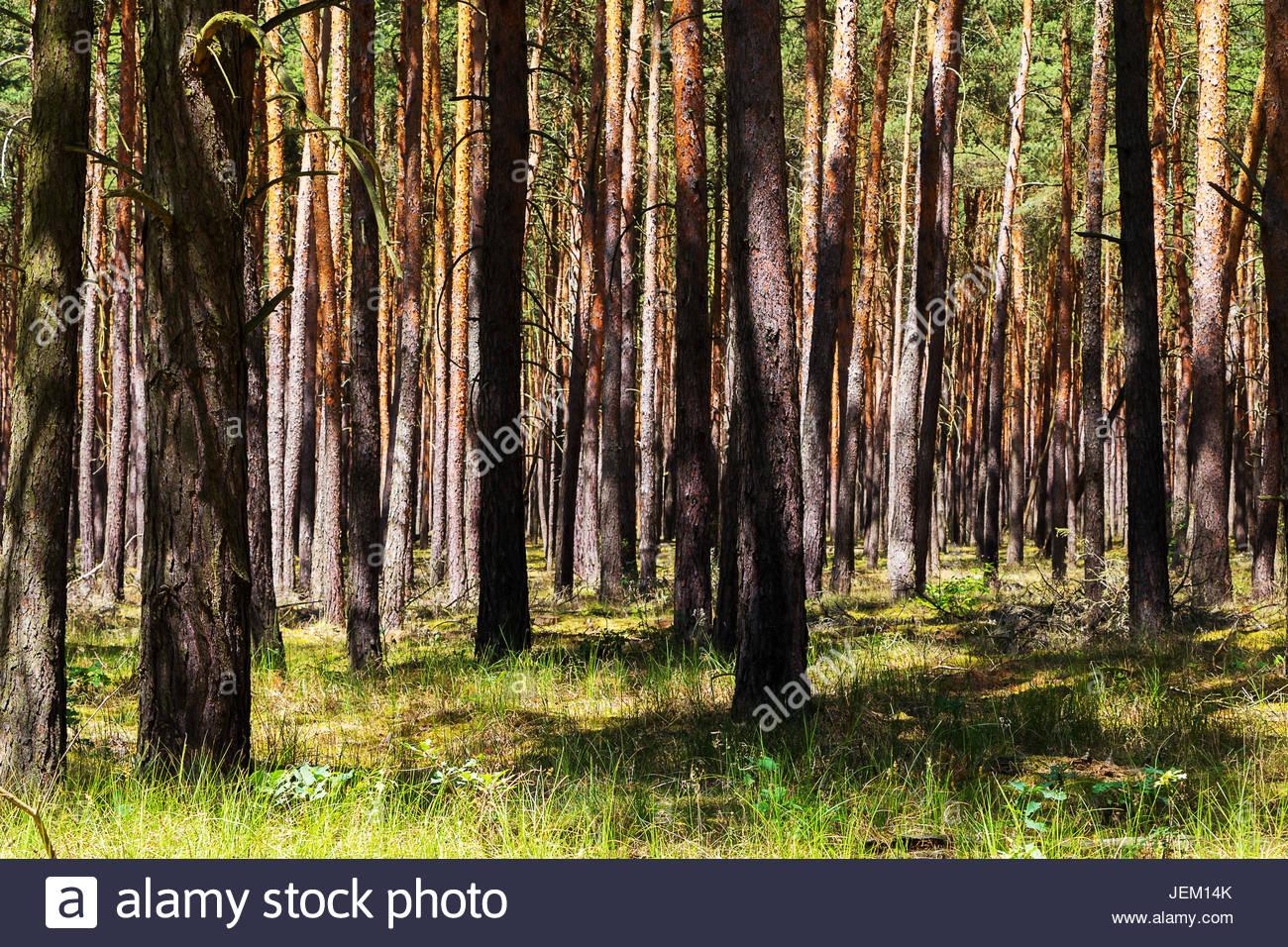 Beliebt Bevorzugt Forest Wald Brandenburg Deutschland Kiefer Baum Monokultur Wald #FO_19
