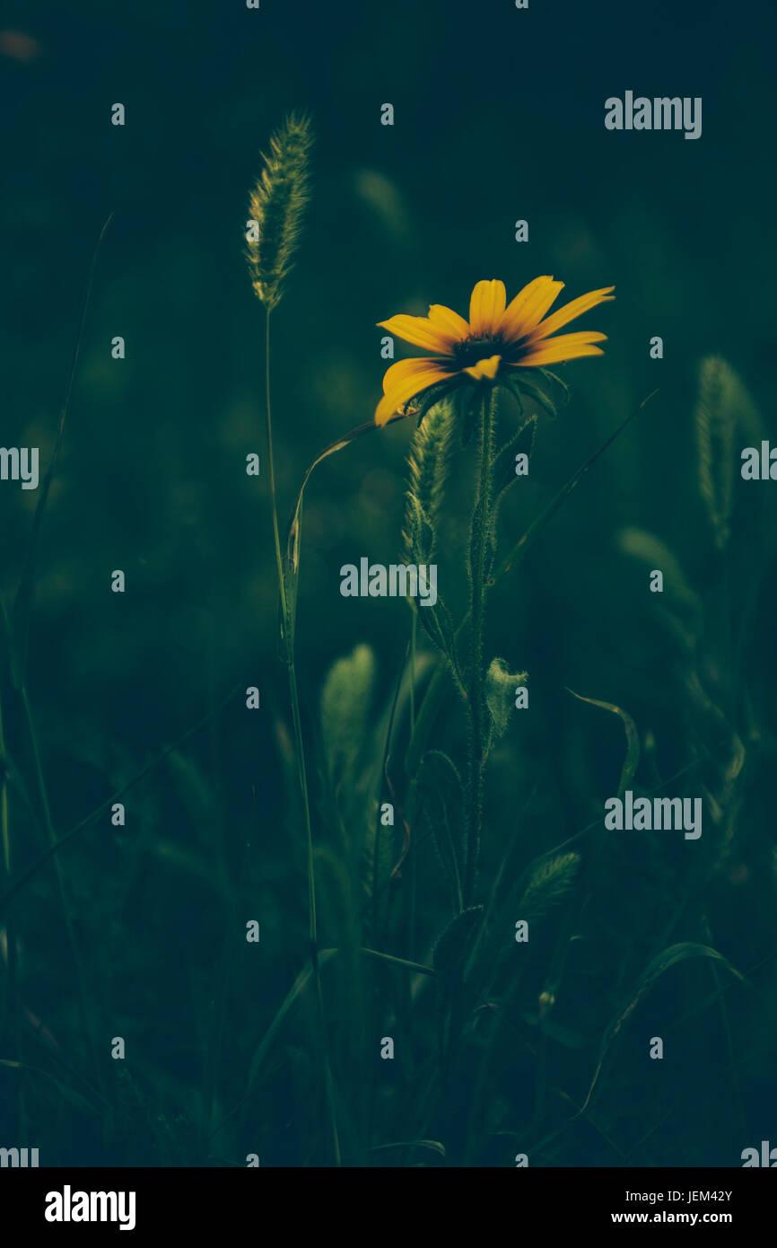 Gelbe Wildblumen im Sonnenuntergang Stockbild
