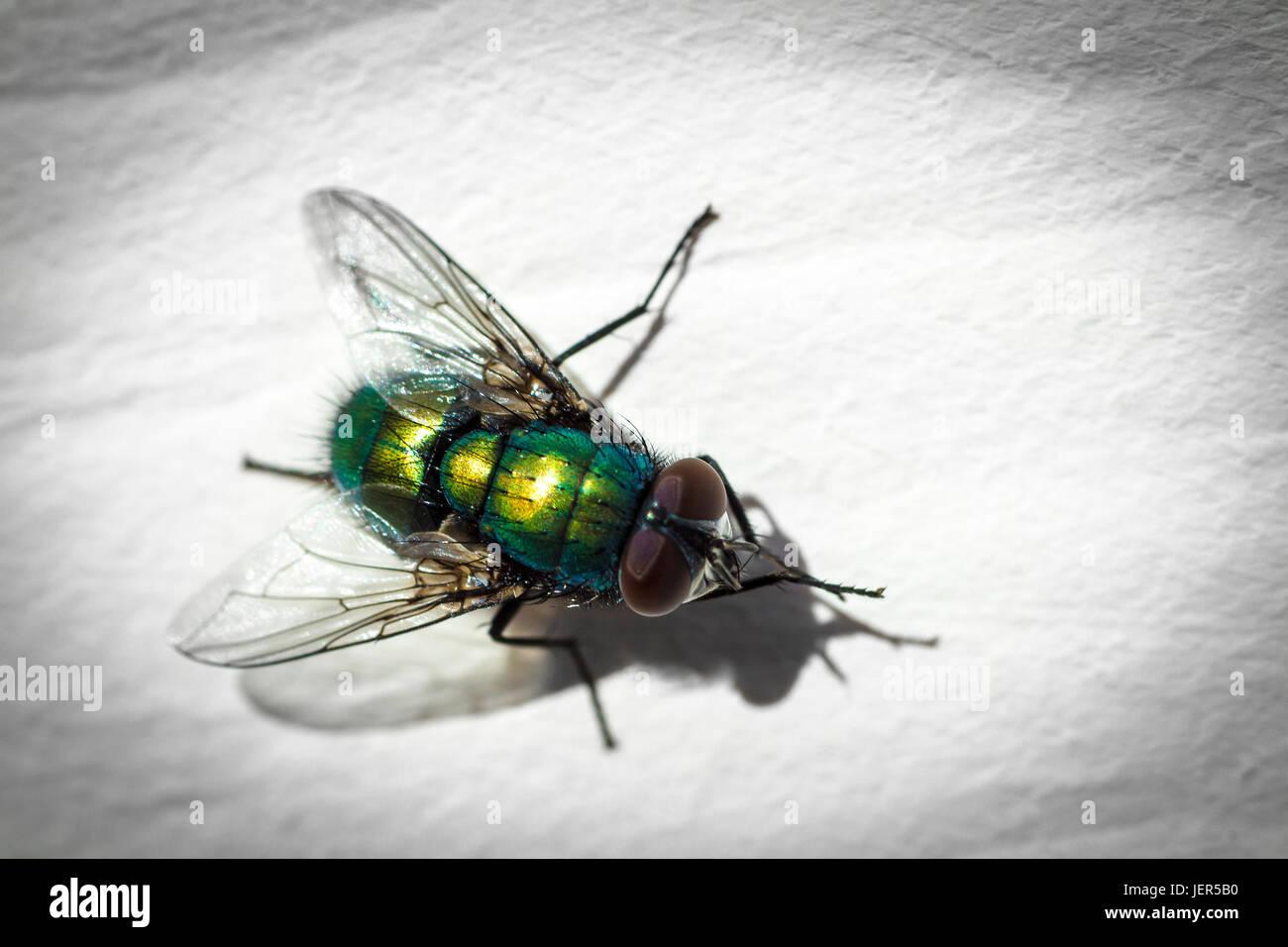 Grüne fliegen schließen bis auf die weiße Fläche. Stockbild