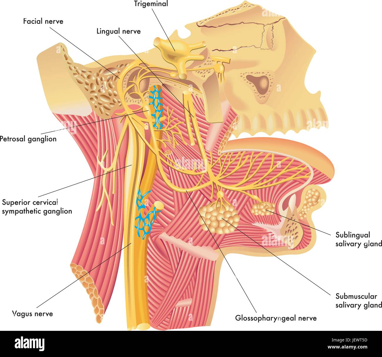 Cervical Ganglion Stockfotos & Cervical Ganglion Bilder - Alamy