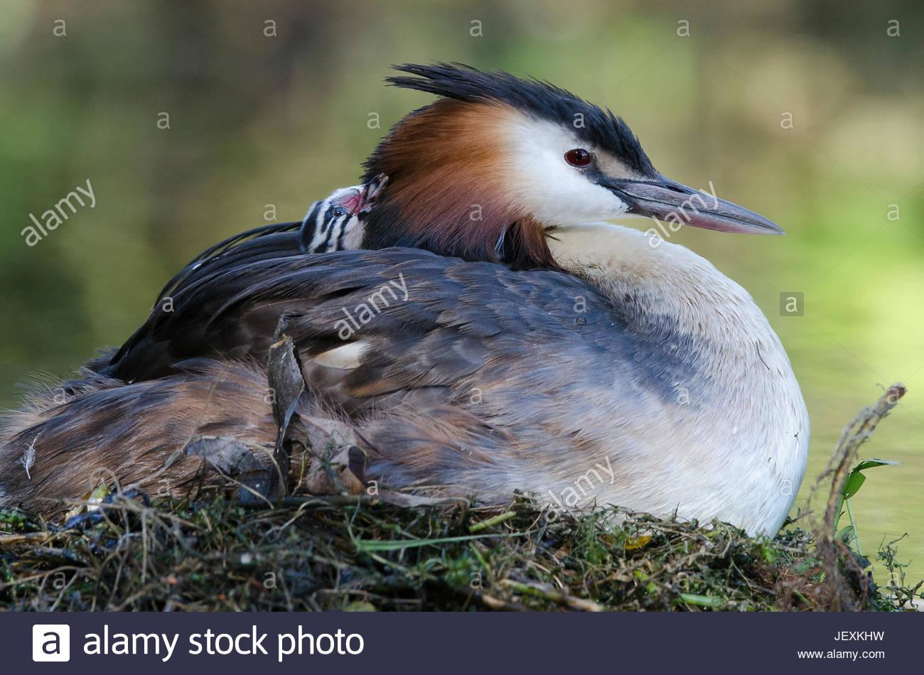 Great crested Grebe mit einem kürzlich geschlüpften Küken auf seinen Rücken und Inkubation ungeschlüpfte Stockbild