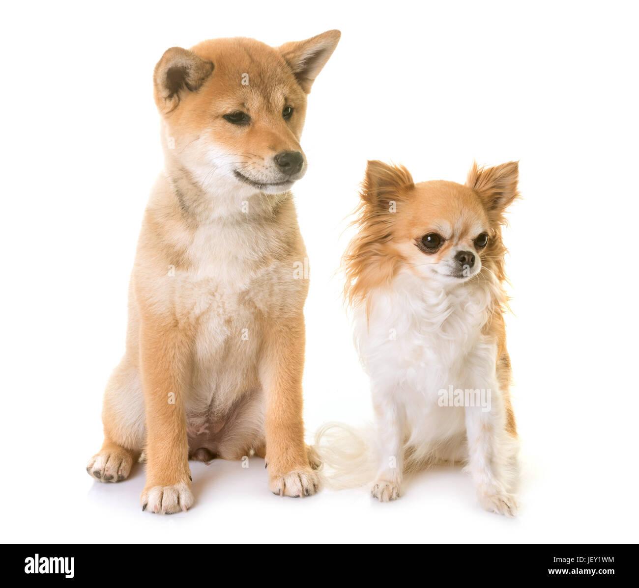 Shiba Inu Welpen und Chihuahua vor weißem Hintergrund Stockfoto ...