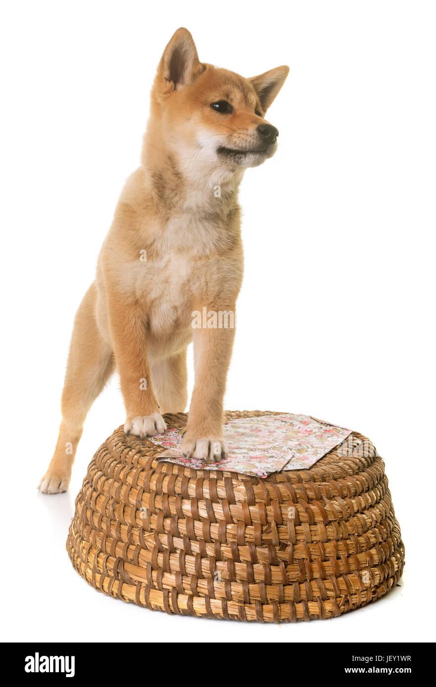 Welpen-Shiba Inu vor weißem Hintergrund Stockfoto, Bild: 146882339 ...