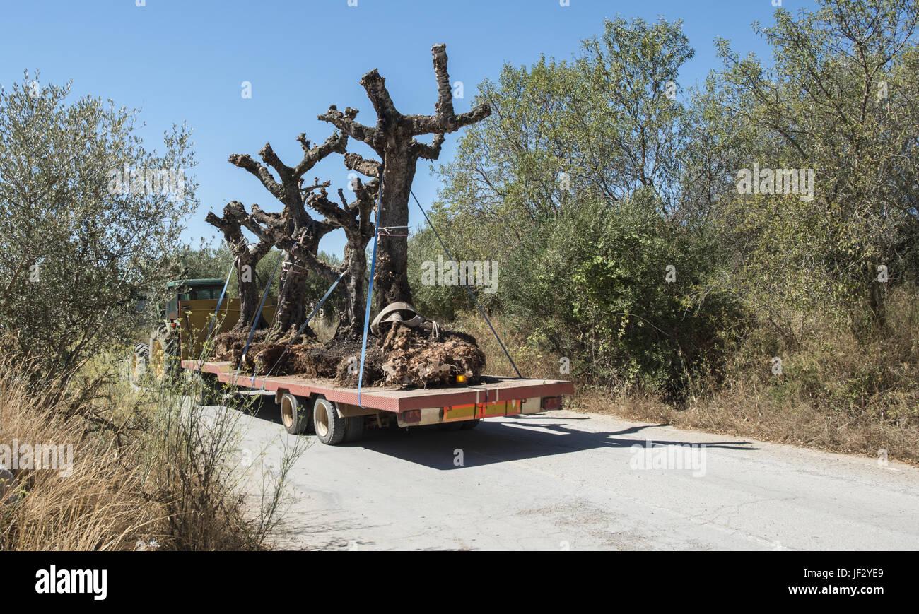 Baum Umpflanzen verschieben baum umpflanzen stockfoto bild 146968257 alamy