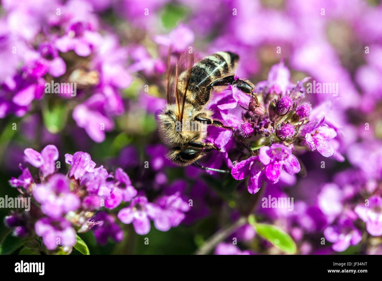 """Biene auf Thymus Pulegioides """"Kurt"""", breitblättrigen Thymian, Zitronenthymian, Bestäubung Stockbild"""