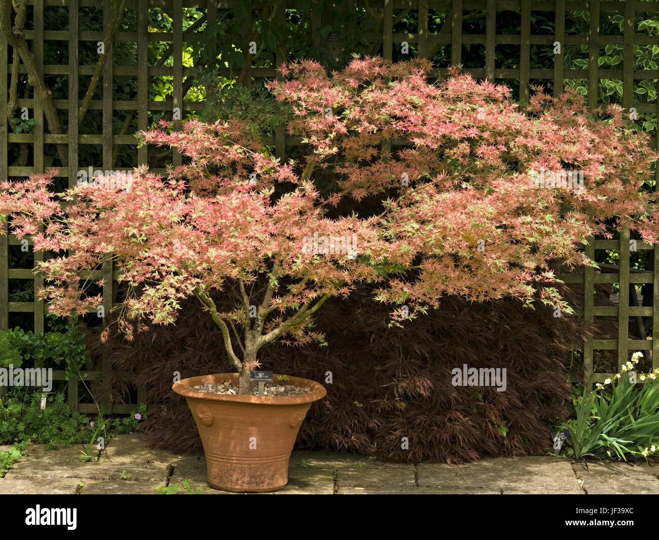 japanischer ahorn acer palmatum beni schichihenge in terrakotta terrasse topf mit spalier. Black Bedroom Furniture Sets. Home Design Ideas