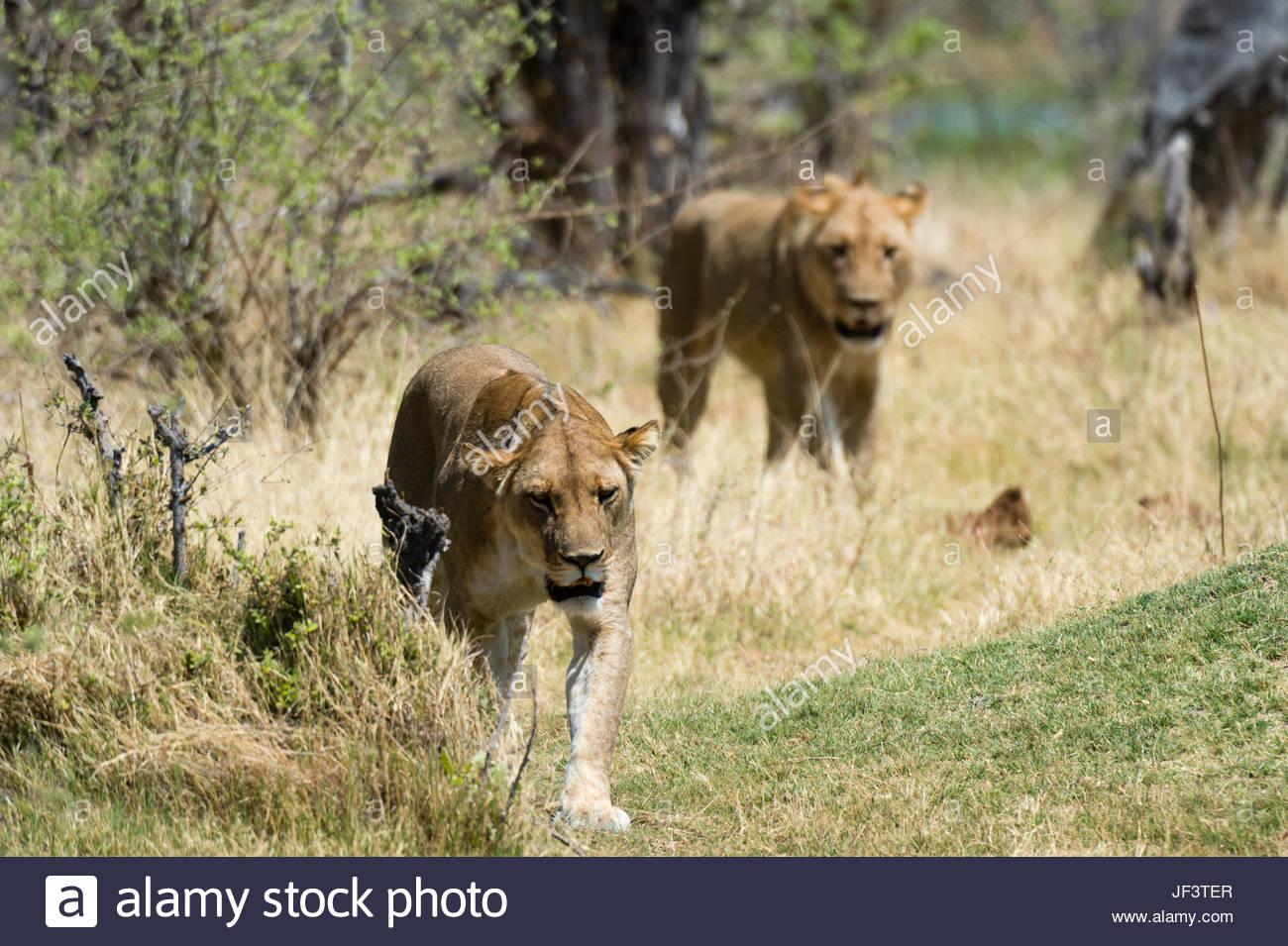 Zwei Löwen, Panthera Leo, zu Fuß in ihrem Lebensraum. Stockbild