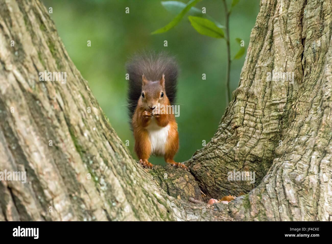 Rote Eichhörnchen im Baum Cleft Stockbild