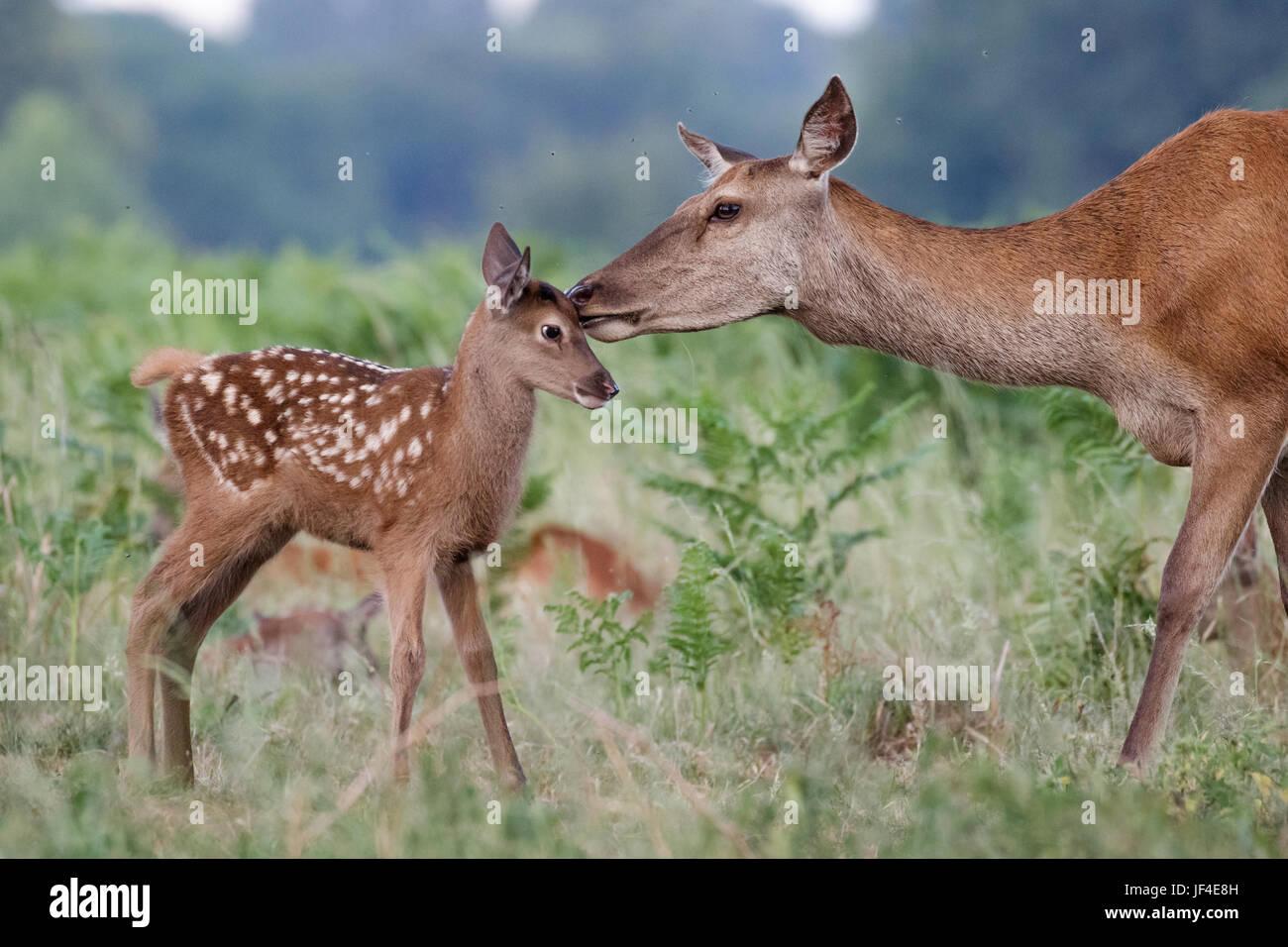Rothirsch (Cervus Elaphus) weibliche Hinterbeine Mutter und junges Baby Kalb mit einer zarten Verklebung moment Stockbild