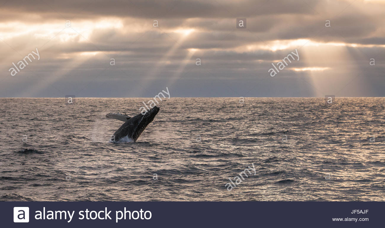 Ein Buckelwal, Impressionen Novaeangliae, unter Sonnenstrahlen durchbrechen. Stockbild