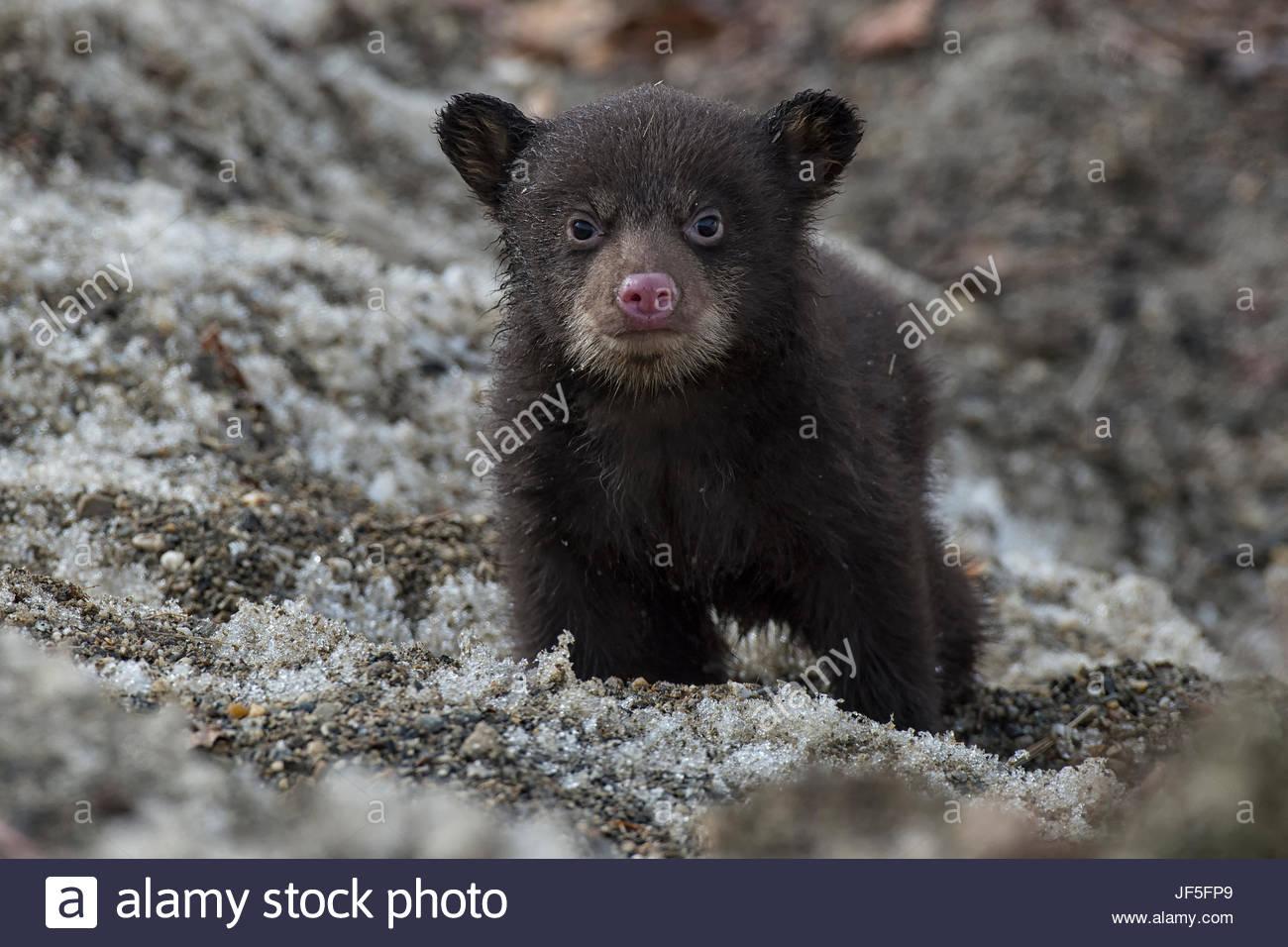 Porträt von ein Wochen alte Black Bear Cub, aus seiner Höhle zum ersten Mal. Stockbild