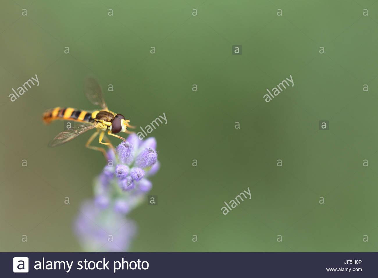 Schwebfliegen, manchmal auch als Blume fliegen oder Syrphid fliegt, machen die Insekten Familie Syrphidae. Sie sind Stockbild