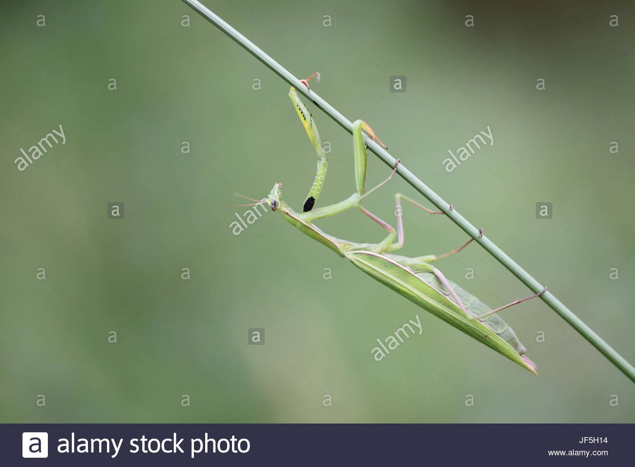 Porträt einer Gottesanbeterin Mantis Religiosa auf einem Fuchsschwanz Stiel, Setaria Arten. Stockbild