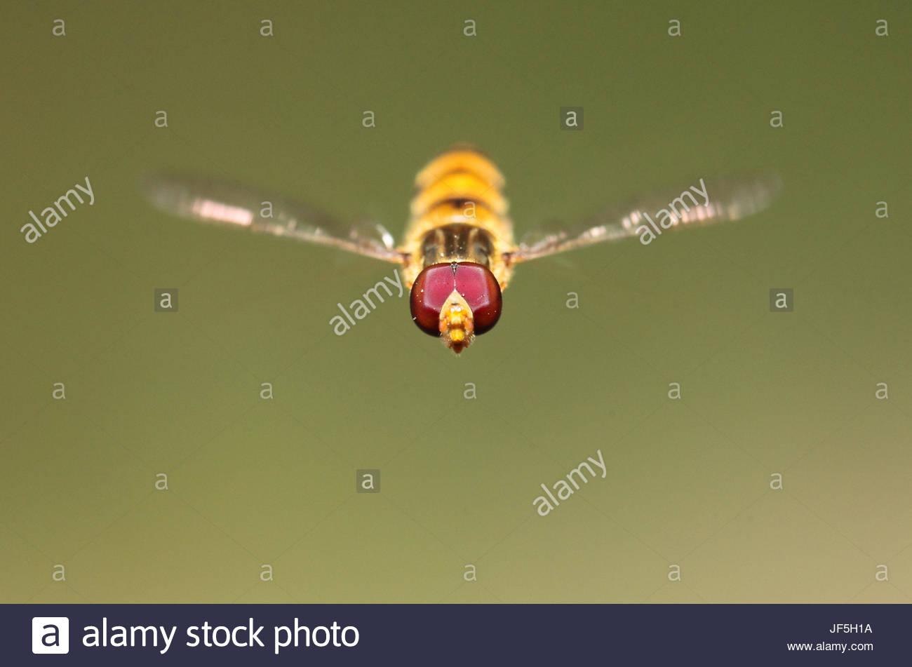 Porträt eines schweben oder Syrphid Fliege mit Pollenkörner auf die Facettenaugen hautnah. Aufzeichnungen Stockbild