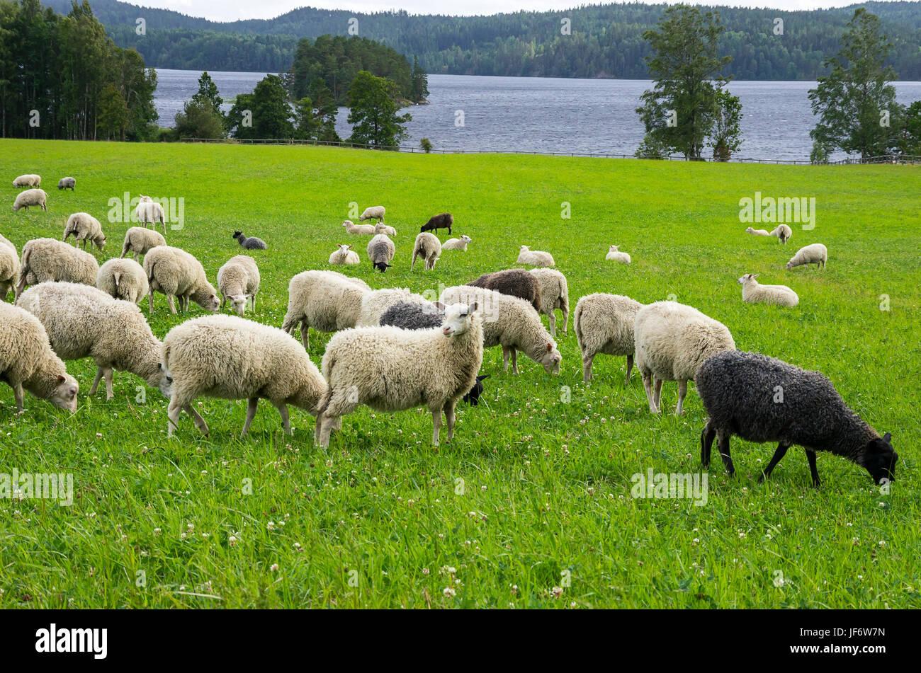 Schafherde auf einer Wiese bei einigen See in Dalsland, Schweden. Schafherde Auf Einer Wiese ein Einems sehen in Stockbild