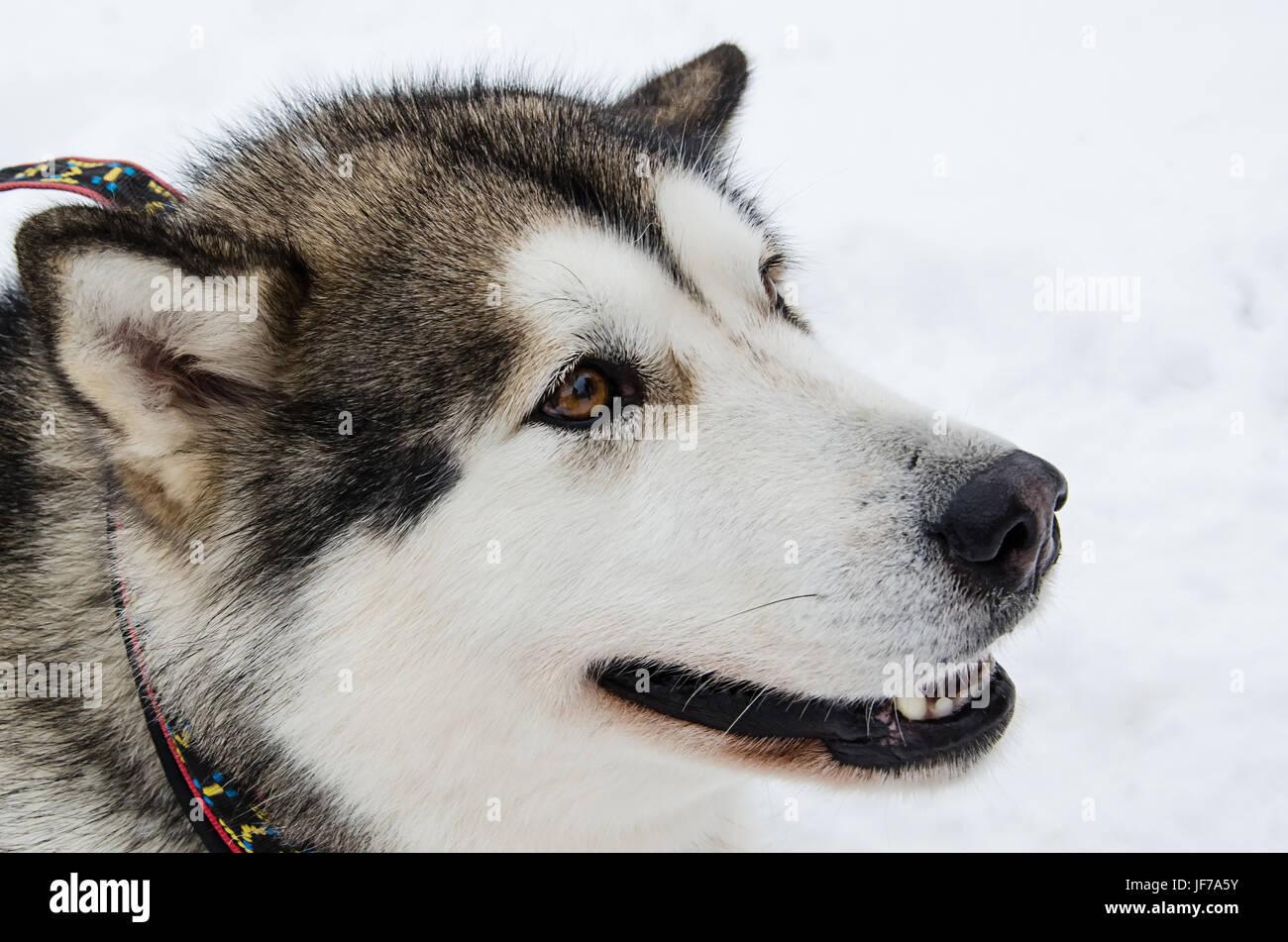Hund Sideview Closeup Portrait. Alaskan Malamute Zucht. Unkonzentriert Schnee Hintergrund. Stockbild