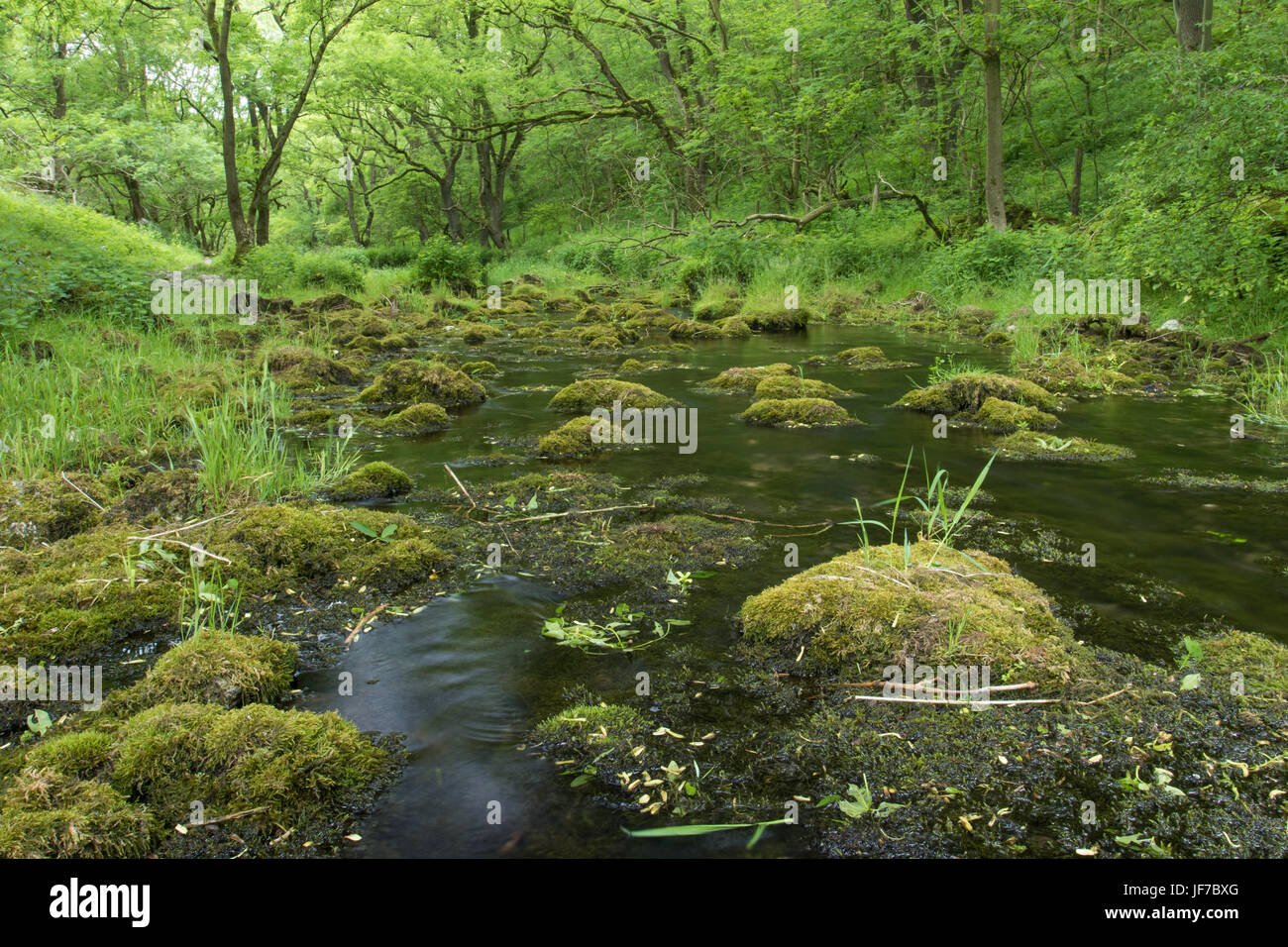 Üppige Frühsommer Vegetation entlang dem Fluß Lathkill, Peak District National Park, UK Stockbild