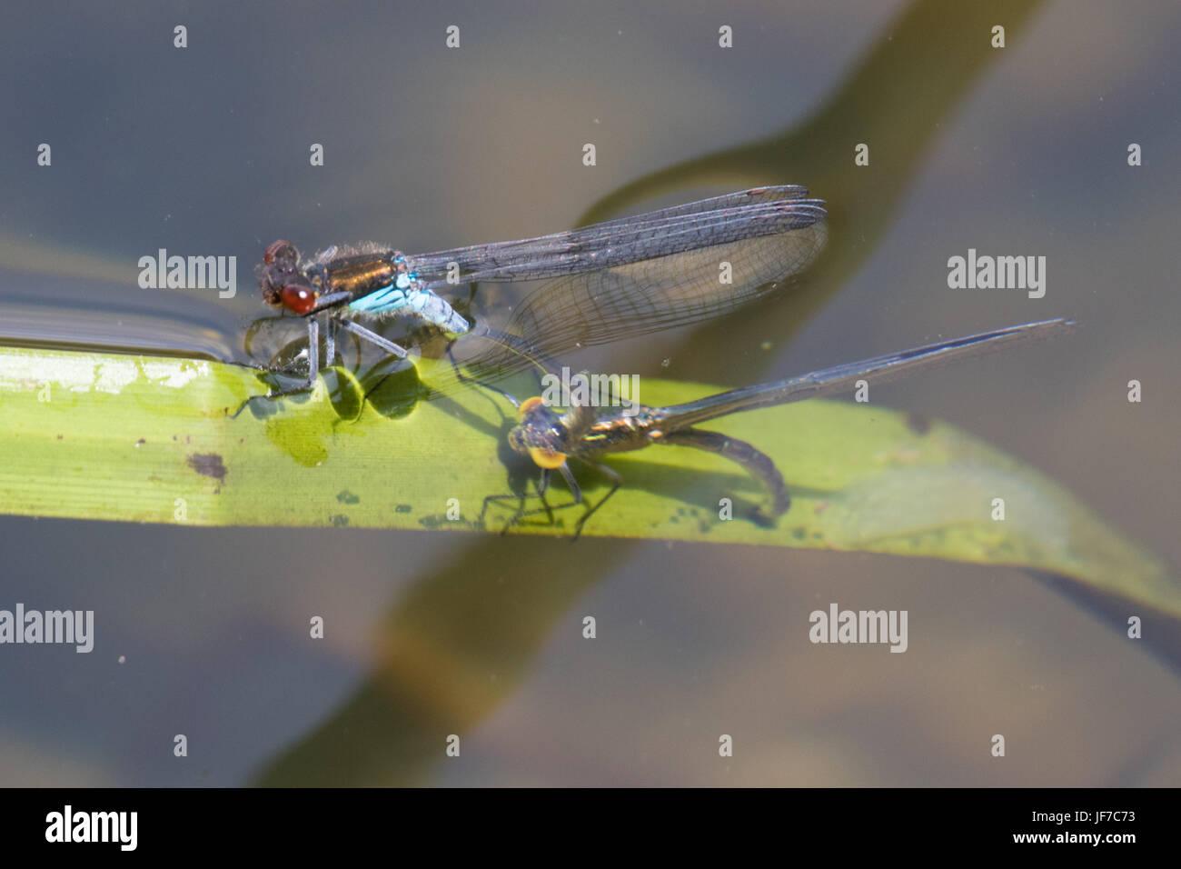 paar Red-eyed Libellen (Erythromma Najas) im Tandem Eiablage unter Wasser Stockbild
