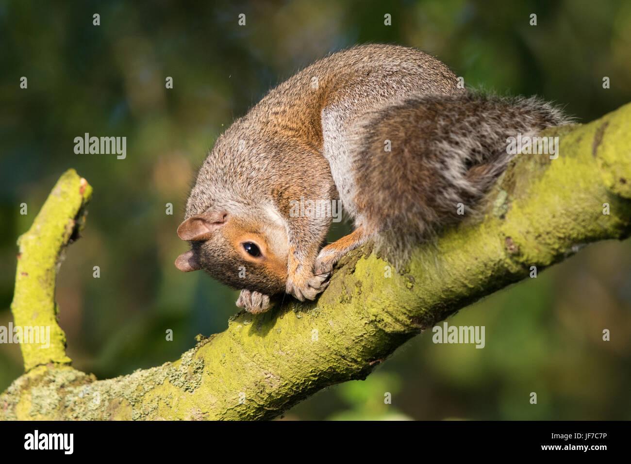 Östliche graue Eichhörnchen (Sciurus Carolinensis) mit einer Niederlassung an die Nase kratzen Stockbild