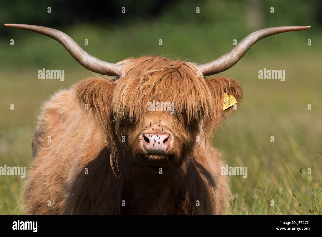 Kopfschuss eine Highland-Kuh (Bos Taurus) Stockbild