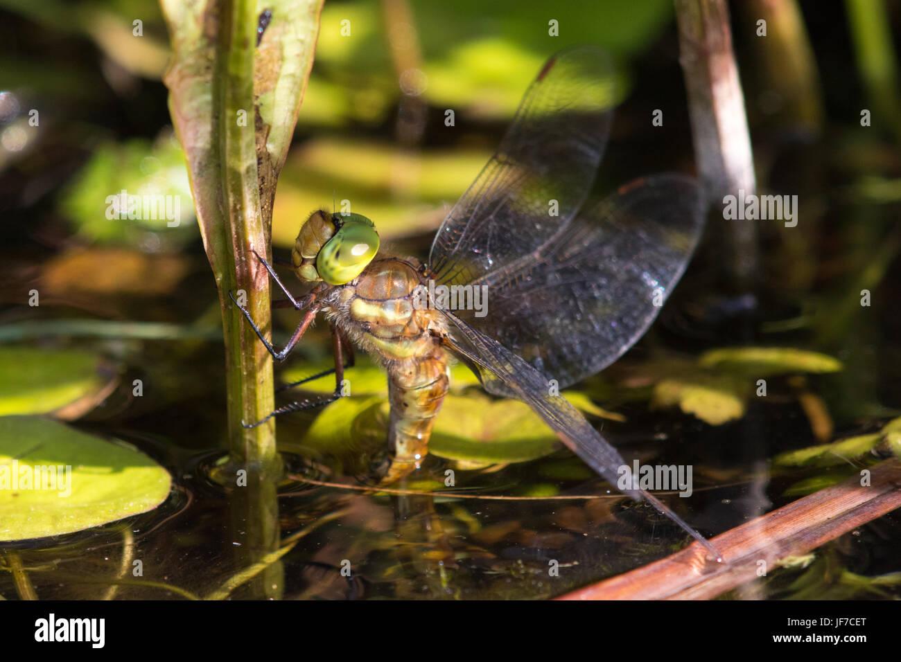 weibliche Norfolk Hawker (Aeshna drehbar) Libelle Eiablage unter dem Wasserspiegel auf emergent vegetation Stockbild