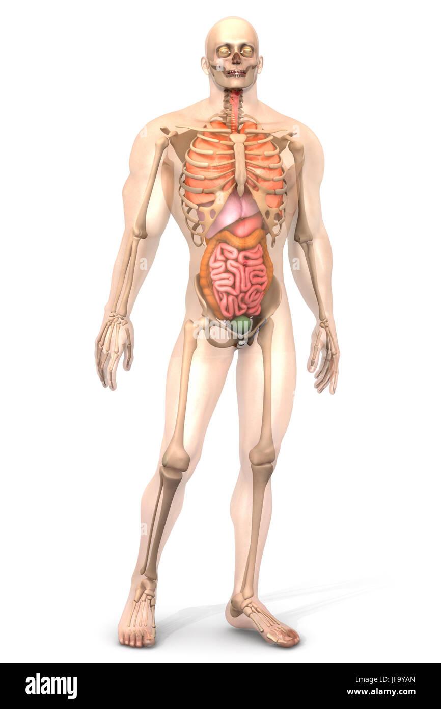 Schön Männlich Innere Organe Diagramm Fotos - Menschliche Anatomie ...