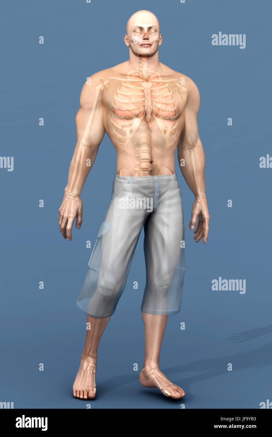 Die menschliche Anatomie Visualisierung - Innere Organe Stockfoto ...
