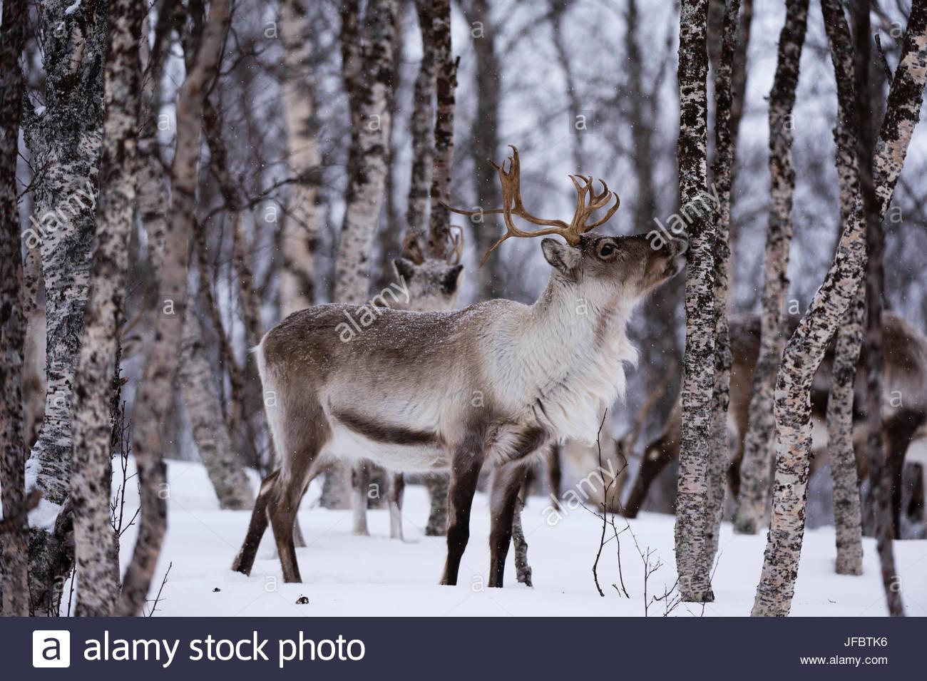 Ein Rentier Rangifer tarandus, in einem verschneiten Wald. Stockbild