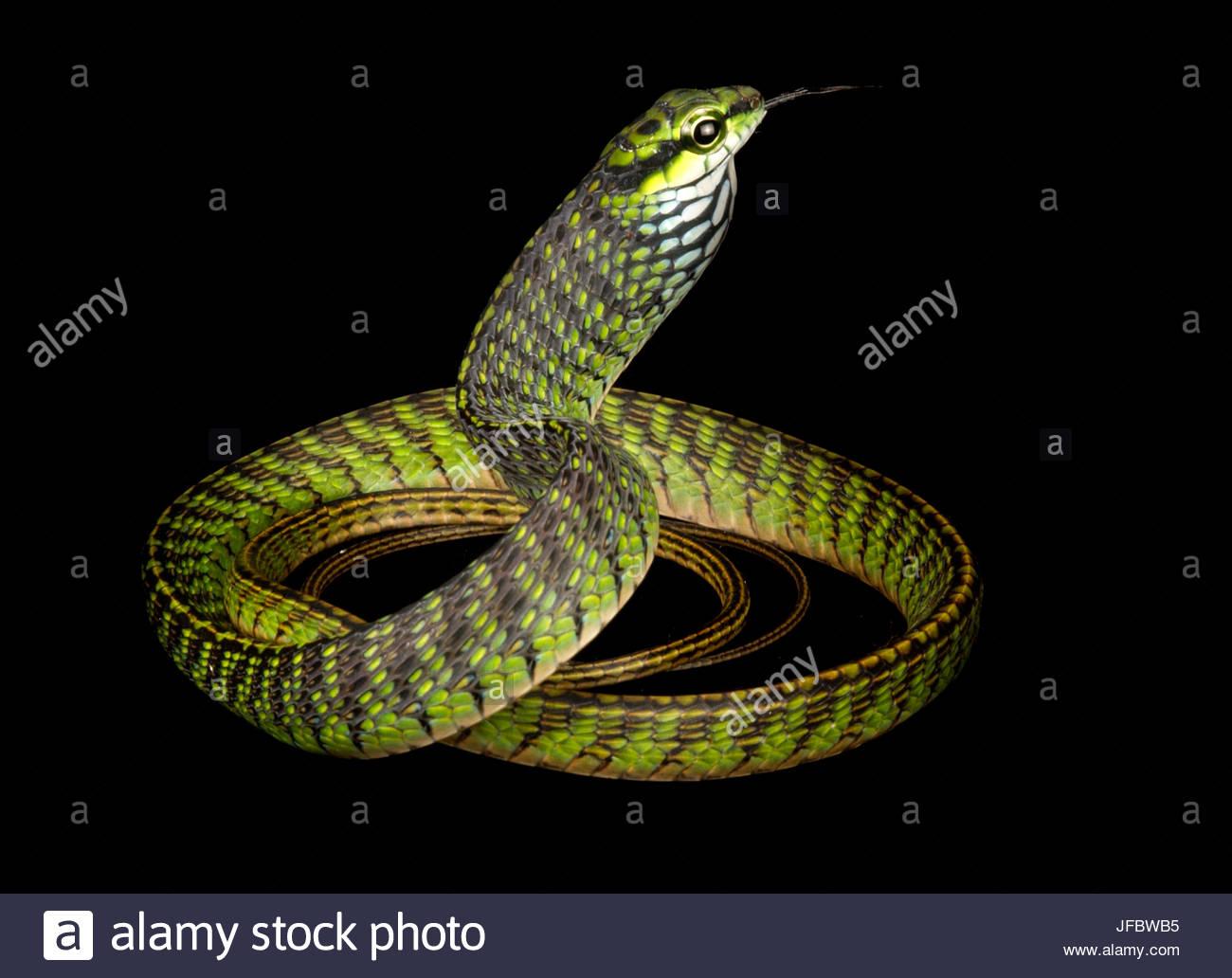Eine große Augen grüne Baumschlange, Rhamnophis Aethiopissa. Stockbild