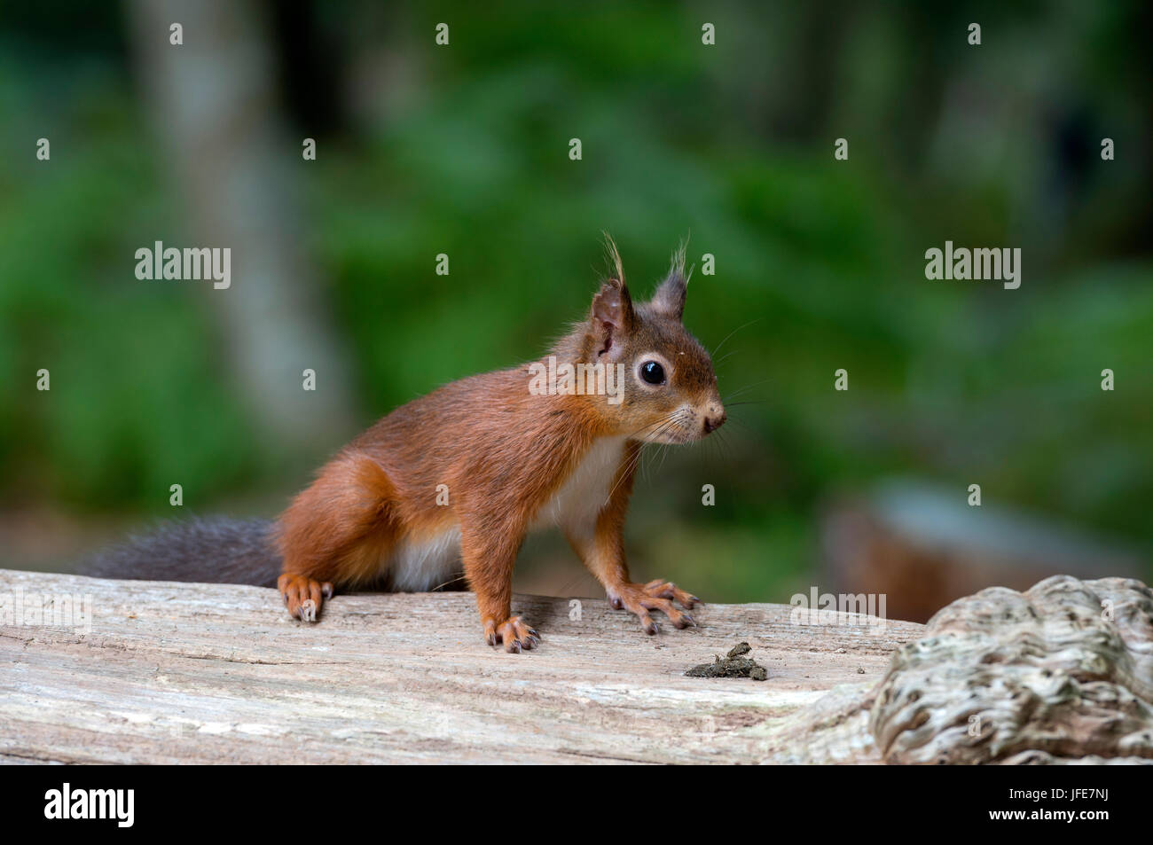 Eichhörnchen auf Baumstamm Stockbild