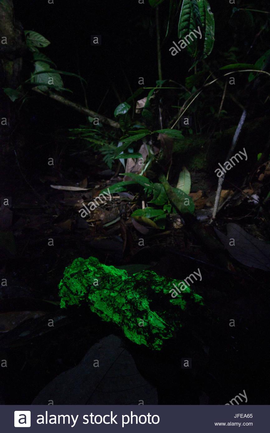 Biolumineszenz Pilz leuchtet in der Nacht auf einem Baumstamm in den Regenwald. Stockbild