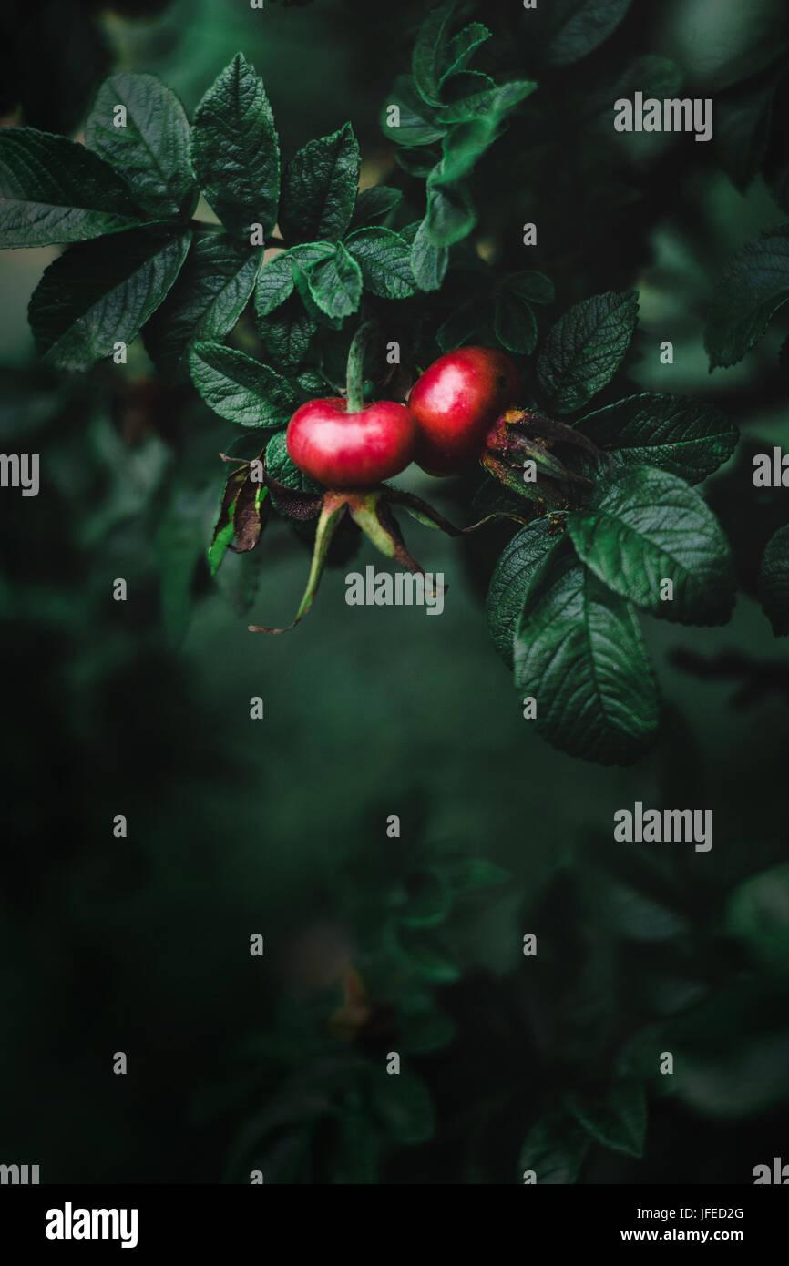 Hagebutte-Beeren auf einem Ast. Tiefenschärfe, dunklen Ton Stockbild