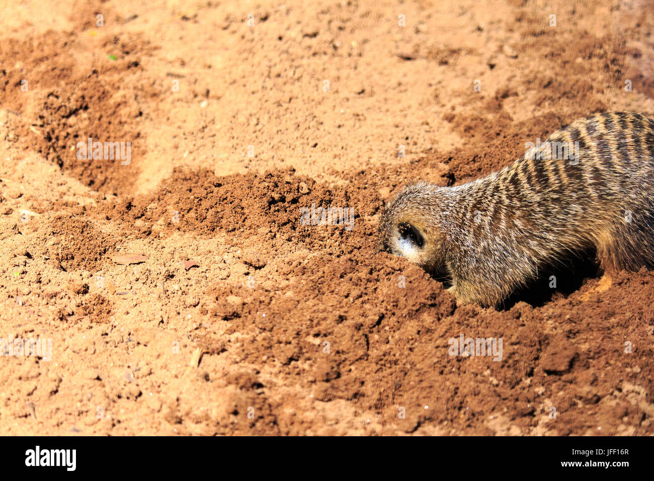 Erdmännchen Graben im Sand Taronga Zoo in Australien Stockbild