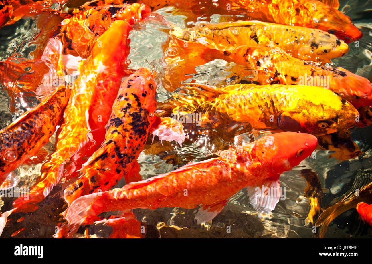 Traditional Koi Fish Black White Stockfotos & Traditional Koi Fish ...