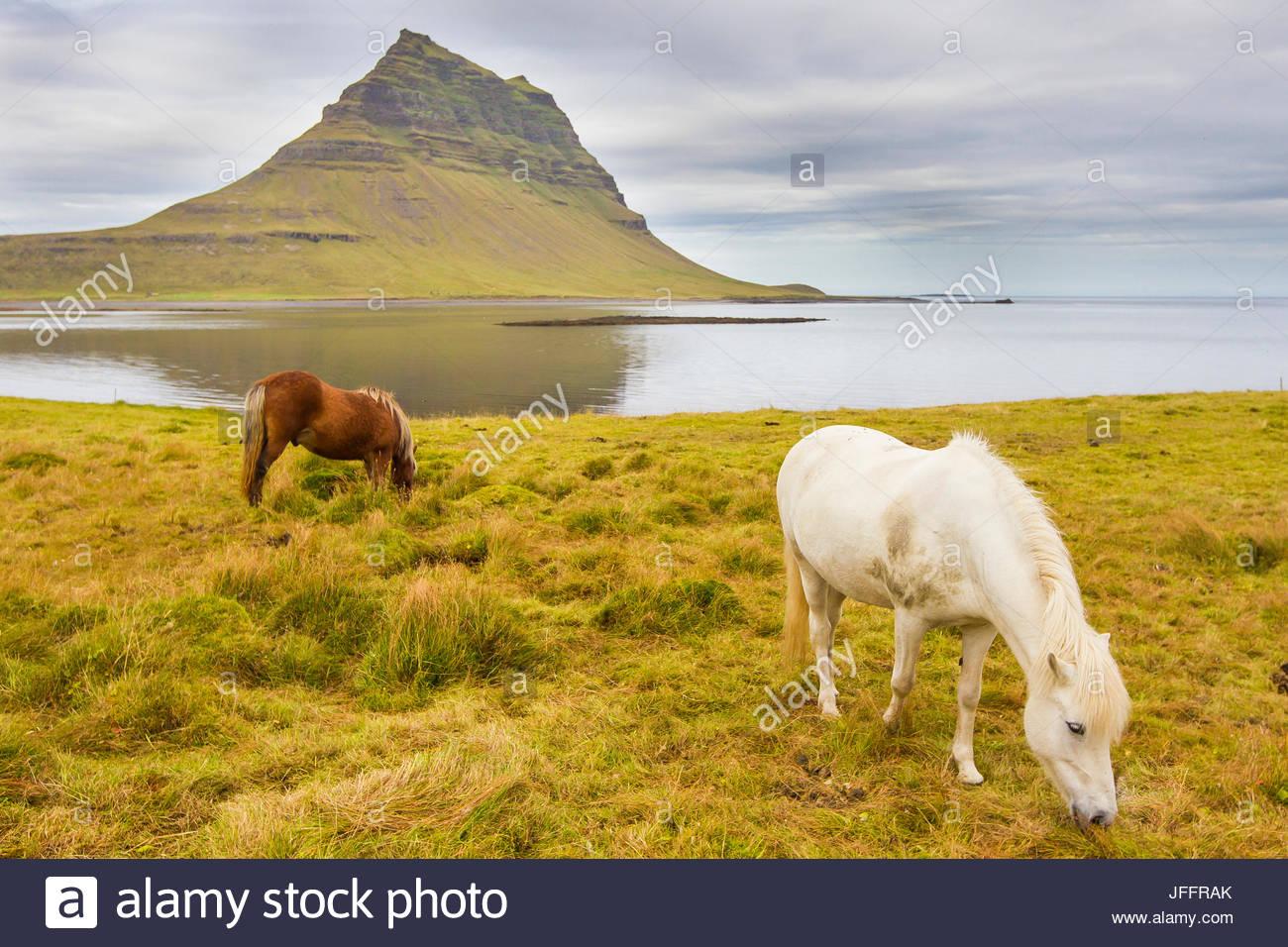 Pferde grasen auf einer Wiese in der Nähe von Berg Kirkjufell an Islands Küste. Stockbild